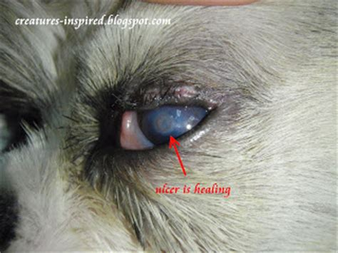 ulcers in dogs corneal ulcer in dogs viral infections articles