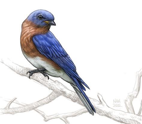 Birds Illustration bird illustrations by nicholas mikesell at coroflot