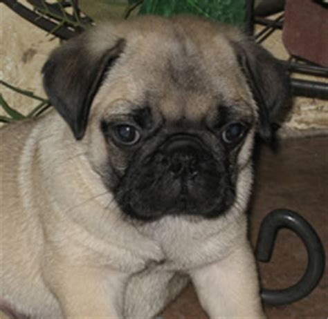 pugs for sale in massachusetts pug puppies for sale in massachusetts ma pugs for sale