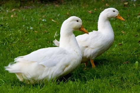 Ducks   General health and well being   Pets4Homes