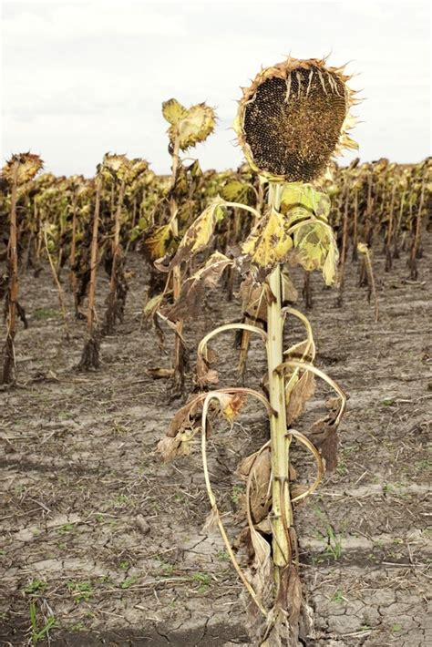 sunflower dies hunker