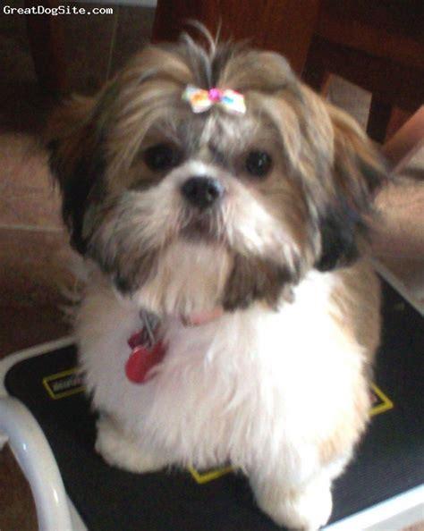 multi shih tzu puppies a photo of a 1 multi shih tzu my greatdogsite