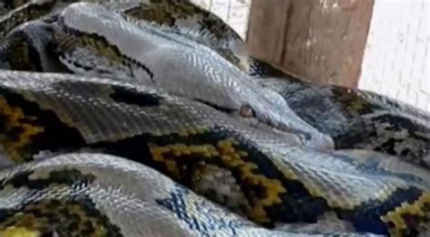 video film ular piton horor bocah 6 tahun diserang ular piton sepanjang 3 meter