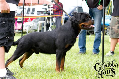 german rottweiler puppies for sale in ny edge vom carrabba haus carrabba haus rottweilers german rottweiler puppies for