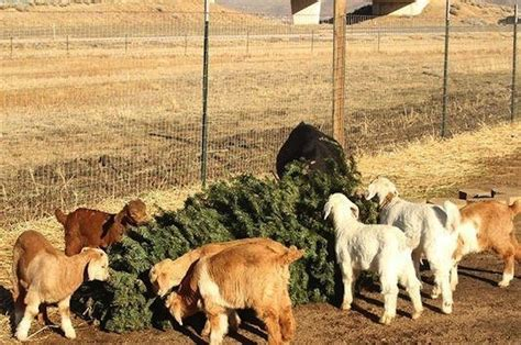 not sure what to do with an old christmas tree feed it to