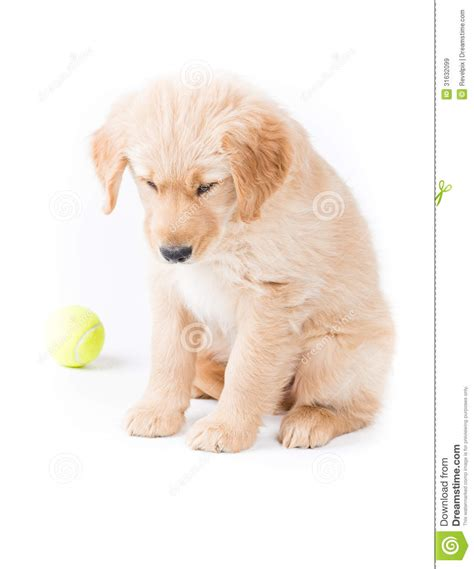 sad golden retriever puppy retriever puppy looking royalty free stock images image 31632099