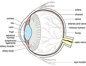 diagram of diagrams of the human eye diagram site