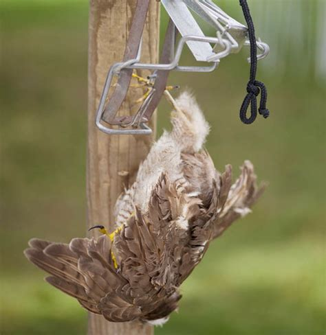 dna to help find suspects in bird of prey offences uk