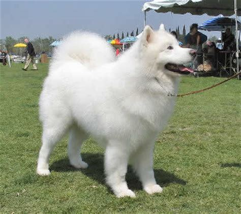 how much are samoyed puppies how to groom a samoyed