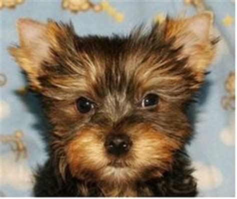yorkies for sale in chicago 1000 images about pets for sale usa on bull siberian husky
