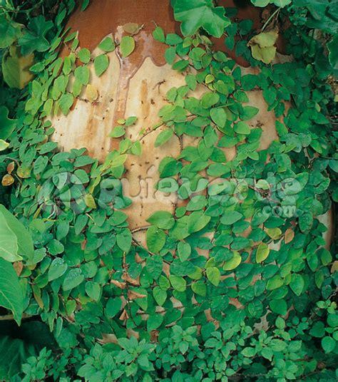 Ficus Interior Ficus Repens Ficus Trepador Higuera Trepadora