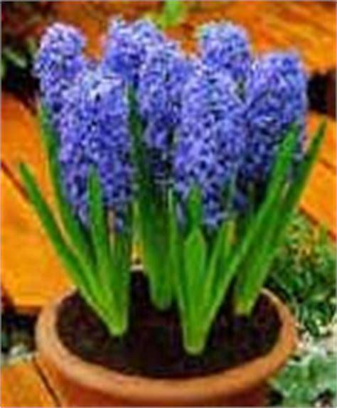 jacinto planta interior jacinto hyacinthus spp
