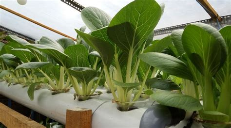 Harga Bibit Sawi Dan Kangkung harga tanaman hidroponik benih bibit pakcoy sawi