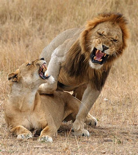 african animals mating videos 2950 best images about african animals minerals or