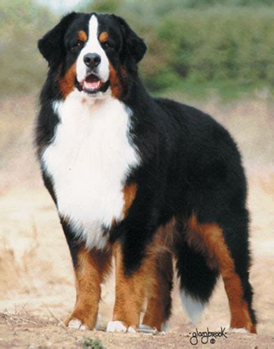 st bernese mountain puppy st pets breed bernese mountain dogs aka berners