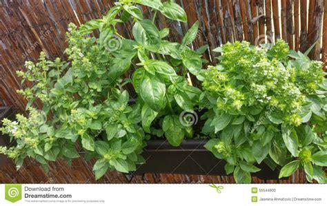 Green Garden Organics by Basil Stock Photo Image 55544800