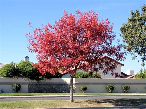 Meaning Of The Color Orange by Chinese Pistache Pistacia Chinensis Xeriscape