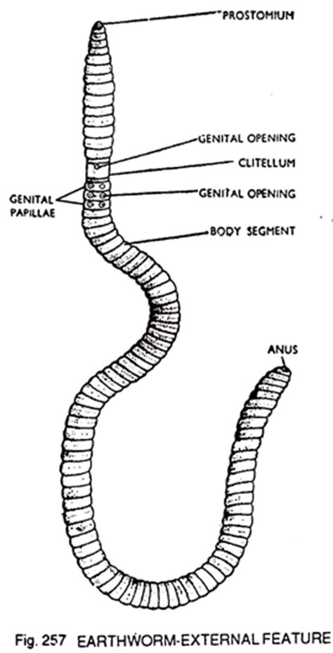 earthworm diagram and label dissection of earthworm zoology