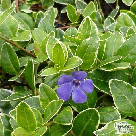 buy vinca minor argenteovariegata variegated perwinkle