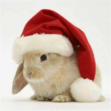 images of christmas rabbits cuteness overload bunnies with hats gallery 20 photos