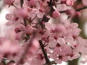 cherry blossom image flowers for flower lovers cherry blossom pictures