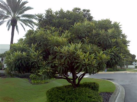 size fruit trees for sale japanese loquat buy in ta brandon riverview apollo