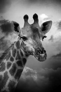 D U P Lashes 901 1609 best giraffe images on beautiful colors