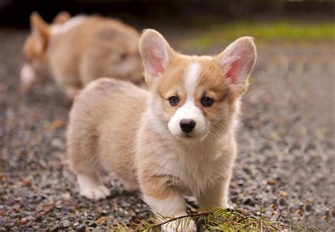 pembroke corgi puppies pembroke corgi puppies for sale akc puppyfinder