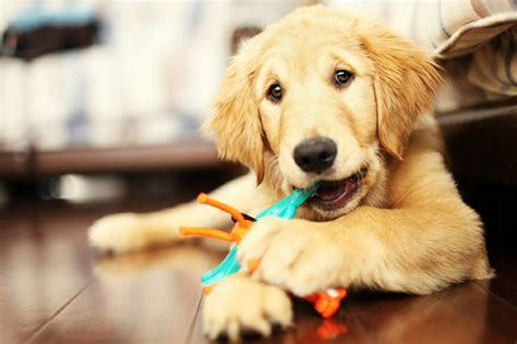 golden retriever biting lucky golden retriever health facts puppy supplies