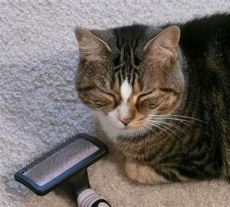 Cat Is Shedding Much by How To Minimize Cat Shedding In Your Home Iheartcats