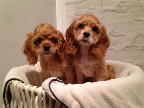 free cocker spaniel puppies american cocker spaniel puppies www pixshark