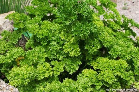 Petersilie Garten Pflanzen by Petersilie Gartenratgeber Net