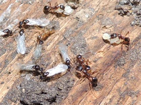 carpenter ants dead on floor carpenter ant facts truly nolen