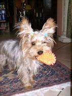 ciao della yorkies colore yorky cani di razza