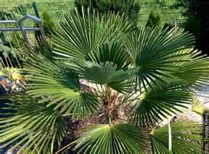 winterharte palmen für den garten palmen winterhart das exoten zentrum