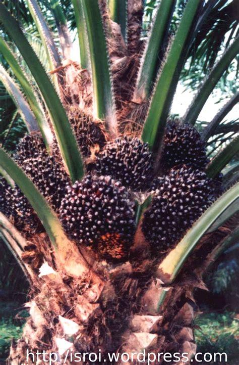 kelapa sawit sayhrul rahmadani