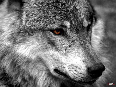 imagenes terrorificas de lobos lobo wallpapers wallpaper cave