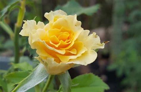 wallpaper bunga mawar kuning 12 tips menanam merawat bunga mawar di pot polybag agar