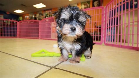 morkie puppies for sale indiana unique teacup morkie puppies for sale in ga at puppies for sale local breeders