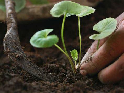 menanam serai hidroponik minum jus daun pegaga sekali seminggu kulit akan sihat dan