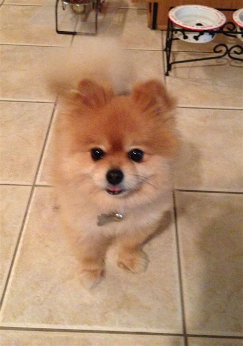 teacup maltese pomeranian 17 best images about pomeranian pictures on teacup pomeranian teacup