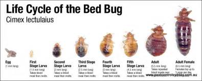 Life Cycle Of A Bed Bug Pest Control Sydney Residential Amp Commercial Www