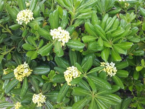 pitosforo in vaso pitosforo coltivazione