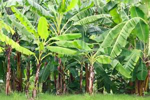 a guide to banana plant care you ll wish you had found sooner