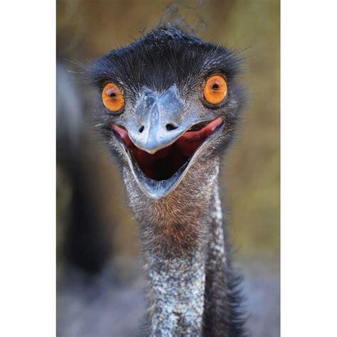 funny emu pics images  pinterest beautiful