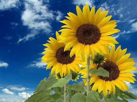 imagenes de flores de girasol girasoles tierra de flores