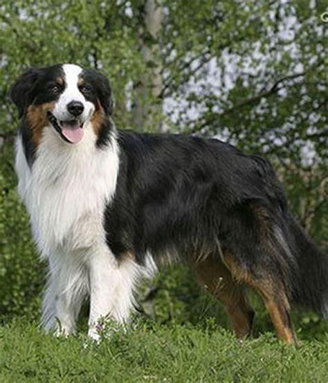 australian shepherd names australian shepherd temperament names rescue adoption