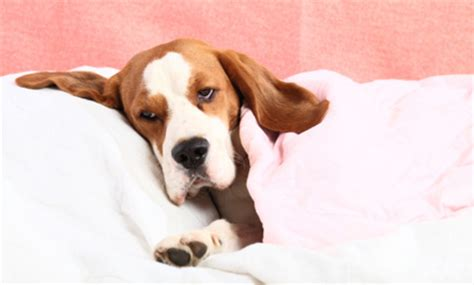 can dogs catch a cold colds can a get a cold from humans remedies and preventive measures dogs