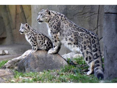 reset nvram snow leopard snow leopard cubs make public debut at brookfield zoo la
