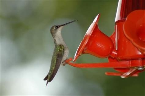 39 best images about hummingbird wildlife ideas on